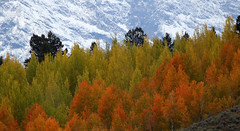 rows (Dianne M.) Tags: tetons nature snow colors rows leaves