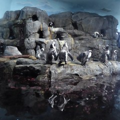 Monterey, CA, Monterey Aquarium, Penguin Colony (Mary Warren 14.3+ Million Views) Tags: montereyca monterey aquarium nature fauna birds penguins stones rocks water