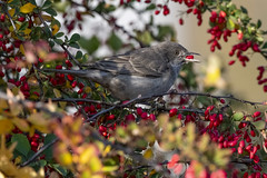 barred warbler (madziulka_a) Tags: barredwarbler nikon d850 nikkor 200500mm poland wildlife nature bird jarzębatka photography