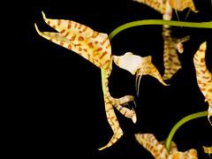 Gongora leucochila (Eerika Schulz) Tags: gongora powellii berggarten herrenhausen herrenhäuser garten gärten eerika schulz leucochila