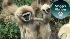 Playtime For Gary The Baby Lar Gibbon (SloggerVlogger) Tags: playtime for gary the baby lar gibbon