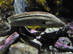 Monterey, CA, Monterey Aquarium, Morray Eel (Mary Warren 14.3+ Million Views) Tags: montereyca monterey aquarium nature fauna fish eel coth coth5