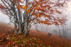 Red tree in the fog - Weissenstein (Captures.ch) Tags: aufnahme capture nebel fog morgen morning tag day autumn fall foliage herbst swiss schweiz solothurn weissenstein tree stone stein landschaft landscape buche forest gras beech