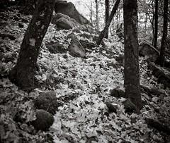 In the woods (Geir Bakken) Tags: rolleirpx rolleiretro80 retro film filmisnotdead filmisalive analog analogphotography blackandwhite bw yashica yashicaministeriii 135 135film landscape autumn trees
