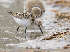 Little Stint (Calidris minuta) (gilgit2) Tags: avifauna birds borit canon canoneos7dmarkii category fauna feathers geotagged gilgitbaltistan gojal imranshah littlestintcalidrisminuta location nature ornithology pakistan species tags tamron tamronsp150600mmf563divcusd wildlife wings gilgit2 calidrisminuta
