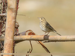 Tree Pipit (Anthus trivialis) (gilgit2) Tags: avifauna barsat birds canon canoneos7dmarkii category fauna feathers geotagged ghizer gilgitbaltistan imranshah location pakistan species tags tamron tamronsp150600mmf563divcusd treepipitanthustrivialis wildlife wings gilgit2 anthustrivialis