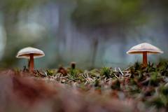 Opponents (VintageLensLover) Tags: pilze mushrooms natur outdoor shrooms herbst autumn fall makrofotografie bokeh dof schärfentiefe schärfeverlauf shallowdepthoffield herbstfarben moos voigtländer nokton50mmf12 manualfocus manualfocuslens sonya7iii