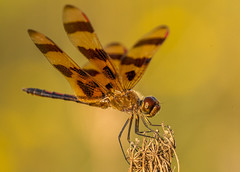 Halloween Pennant (Bernie Kasper (6 million views)) Tags: art berniekasper bug butterflyweed bugs color colour d750 family fall hiking indiana indianawildflowers insect insects image light love madisonindiana macro nikon nature naturephotography new nwr national nikkor outdoors outdoor old outside orange photography plant park photos photo people raw sigma sunset travel unitedstates usa halloweenpennant muscatatuckrefuge muscatatucknwr