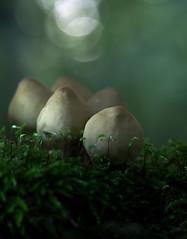(skloi) Tags: pilze fungi mushrooms wald forest moss moos green grün bokeh