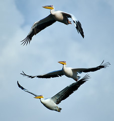 """3 stages of flight"" / Pelicans (alexhait) Tags: bird pelican flight nikon d850 200500"