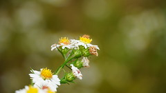 Symphyotrichum Pilosum II (AVNativePlants) Tags: frost aster native plant wild october flower bloom late hairy stem