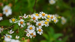 Symphyotrichum Pilosum IV (AVNativePlants) Tags: native plant aster frost october bloom white hairy wild