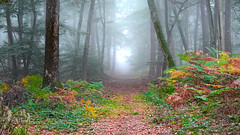 Morning mist in Fontainebleau (tonyk5657) Tags: wood leaf landscape tree nature season fog beech environment outdoors horizontal colorimage autumn scenicsnature naturalparkland publicpark day nopeople hiking nonurbanscene fontainebleau forest
