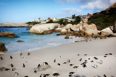 Penguins on Cape Town Beach_3725 (hkoons) Tags: capetown southafrica southernafrica africa atlantic penguin penguins beach bird colony cute daylight egg eggs feathers nest nesting ocean oceans outside pacific photo rock rocky salt sand sea seascape seashore stones surf wings