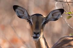 Hi (leendert3) Tags: select leonmolenaar southafrica krugernationalpark nature naturereserve naturalhabitat wildlife wilderness wildanimal mammal antelope impalaantelope ngc npc coth5