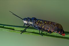 I am spotted... (chandra.nitin) Tags: animal aularchesmiliaris grasshopper insect nature outdoor pyrgomorphidae spottedlocust wildlife