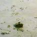 Creekfield Bullfrog