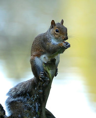 Eastern Grey Squirrel ---- Sciurus carolinensis (creaturesnapper) Tags: maplelodge uk mammals squirrels europe easterngreysquirrel sciuruscarolinensis
