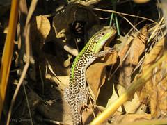 Balkan wall lizard (Podarcis tauricus). (Vitaly Giragosov) Tags: крымскаяящерица рептилии севастополь крым podarcistauricus reptile crimea sevastopol rf balkanwalllizard