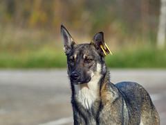 Dog (MikhailDeev) Tags: dog юпитер37а olympus em10 mark iii юпитер 37а