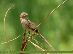 Striated Babbler (Turdoides earlei) (gilgit2) Tags: avifauna balloki birds canon canoneos7dmarkii category fauna feathers geotagged imranshah kasur location maliwala pakistan punjab species striatedbabblerturdoidesearlei tags tamron tamronsp150600mmf563divcusd wildlife wings gilgit2 turdoidesearlei
