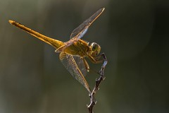 Autumn Orange (ACEZandEIGHTZ) Tags: orangemeadowhawk nikond3200 macro colors dragonfly autumn nature closeup sympetrumvicinum libellulidae flyinginsect coth alittlebeauty coth5 sunrays5