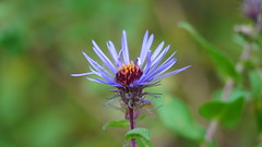 Symphyotrichum Novae-Angliae (AVNativePlants) Tags: wild nature bloom purple new england aster native plant flower october late perennial