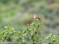 Red-Mantled Rosefinch (Carpodacus rhodochlamys) (gilgit2) Tags: avifauna birds borit canon canoneos7dmarkii category fauna feathers geotagged gilgitbaltistan gojal imranshah location pakistan redmantledrosefinchcarpodacusrhodochlamys species tags tamron tamronsp150600mmf563divcusd wildlife wings gilgit2 carpodacusrhodochlamys