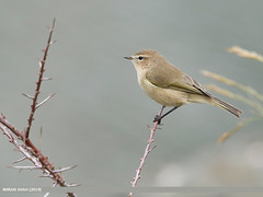 Common Chiffchaff (Phylloscopus collybita) (gilgit2) Tags: avifauna birds borit canon canoneos7dmarkii category commonchiffchaffphylloscopuscollybita fauna feathers geotagged gilgitbaltistan gojal imranshah location nature ornithology pakistan species tags tamron tamronsp150600mmf563divcusd wildlife wings gilgit2 phylloscopuscollybita