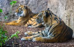 Siberian Tigers, Bioparc, Fuengirola, Spain (rmk2112rmk) Tags: tiger tigers siberiantiger bioparc fuengirola bigcats cat cats predator carnivore panthera tigris altaica dof bokeh mammal animal nature