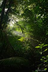 Jungle profonde (patoche21) Tags: ameriquelatine arbre costarica dxo flore nature naturel paysage plante forêt lumière végétation patrickbouchenard america latinamerica centralamerica forest flora landscape scenery jungle light daylight sunlight atmosphere