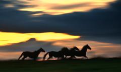 Running free (PentlandPirate of the North) Tags: horses ponies runningfree freespirits cheshire congletonlane sunset icm wildhorses