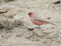 Great Rosefinch (Carpodacus rubicilla) (gilgit2) Tags: avifauna birds borit canon canoneos7dmarkii category fauna feathers geotagged gilgitbaltistan gojal greatrosefinchcarpodacusrubicilla imranshah location pakistan species tags tamron tamronsp150600mmf563divcusd wildlife wings gilgit2 carpodacusrubicilla