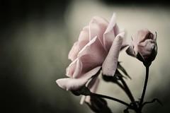 Quizás te des cuenta algún día de que la vida no exigía tanto de tí. (Elena m.d. 12.2 M views.) Tags: macromondays 2019 rose flores flower nature nikon d5600 sigma sigma105 texturas fabuleuse