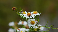 Symphyotrichum Pilosum III (AVNativePlants) Tags: frost aster native plant wild hairy white october bloom flower