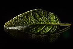 RM-2019-365-295 (markus.rohrbach) Tags: natur pflanze blatt projekt365 salbei thema fotografie lowkey
