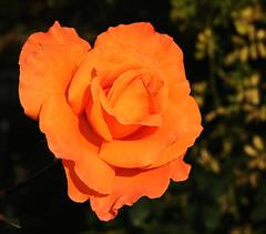 Edelrose 'Tea Time' (Wolfgang Bazer) Tags: edelrose tea time hybrid teehybride rose blüte rosenblüte orange blend flower blossom volksgarten wien vienna österreich austria