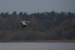Greyheron (malmlund) Tags: sverige sweden höst vinter oktober october natur nature nikon d750 fågel bird birds fåglar häger heron greyheron gråhäger egretthäger vit skåne sjö lake wildlife