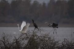 Herons (malmlund) Tags: sverige sweden höst vinter oktober october natur nature nikon d750 fågel bird birds fåglar häger heron greyheron gråhäger egretthäger vit skåne sjö lake wildlife