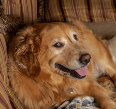 D81_0954 (davidmylesphotography) Tags: goldie golden retriever tongue pose portrait
