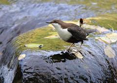 Cincle plongeur (Michel Idre - 9 millions de vues merci) Tags: oiseau bird aves ariège cincleplongeur