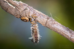 Arizona Jumping Spider - Arachtober 22 (jciv) Tags: caterpillar jumpingspider moth spider arachnid arachtober2019 file:name=dsc09227 macro