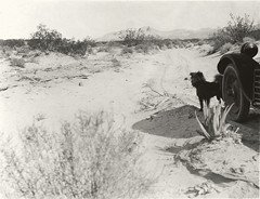 Dog, automobile, and desert plants near Agua Caliente, San Diego County, California. (SDNHM-Library) Tags: usulyssessgrantiv18931977 geologist paleontologist automobiles dogs roads plants deserts agave larreamexicana creosotebush atriplex aguacaliente sandiegocounty california