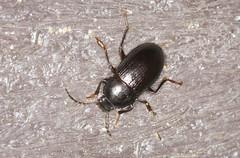 Darkling Beetle - Nalassus laevioctostriatus (Prank F) Tags: rspb thelodge sandy bedfordshireuk wildlife nature insect macro closeup beetle darkling nalassuslaevioctostriatus