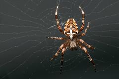 The Warden of My Garden - _TNY_9433 (Calle Söderberg) Tags: macro canon flash arachnida araneae dcr250 raynox araneidae araneomorphae canoneos5dmarkii canon5dmkii canon5dmarkii godox thinklite canonef100mmf28lmacroisusm tt685c plåtdiffusorv3 spider cross spinne spindel orbweaver araneus diadematus europeangardenspider crossspider korsspindel kreutzspinne diademspider crossorbweaver hjulspindel hairy brown hair beige fuzzy web spiderweb bristles fuzz nät spindelnät crownedorbweaver f22