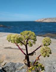 (helena.e) Tags: helenae husbil rv motorhome älsa hönöklåva water vatten hav ocean blå blue blomma flower grön green växt