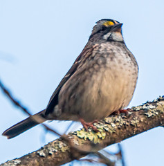 White-throated Sparrow - Ellison Park - © David Laiacona - Oct 18, 2019
