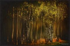 Autumn - Birch grove (Pana53 - the photographer) Tags: photographedbypana53 pana53 texturedbypana53 textured textur herbst autumncolors autumn birken birkenhain birch grove lichtschatten gravur zieher unschärfe vignette nikon nikond500