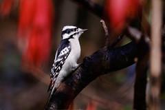 Downy Woodpecker - Batavia - © Jeanne Verhulst - Oct 19, 2019
