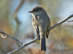 Eastern Phoebe - Beatty Point - © Rosemary Reilly - Oct 19, 2019